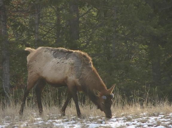 Elk-d